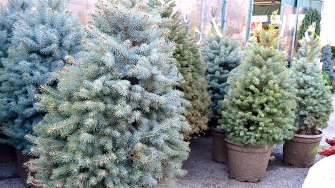 Kako uspješno sačuvati živo božićno drvce