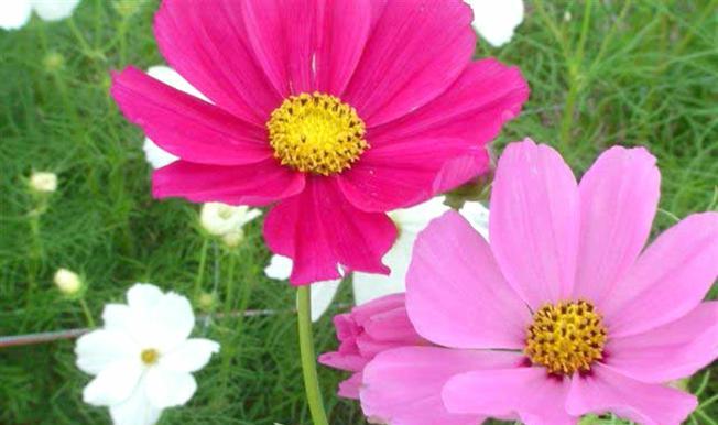 Kako uzgojiti jednogodišnje ljepotice