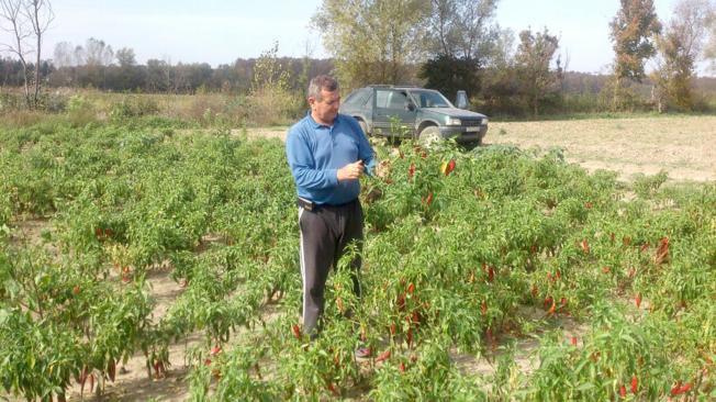 Uzgoj začinske paprike u Vrbanji